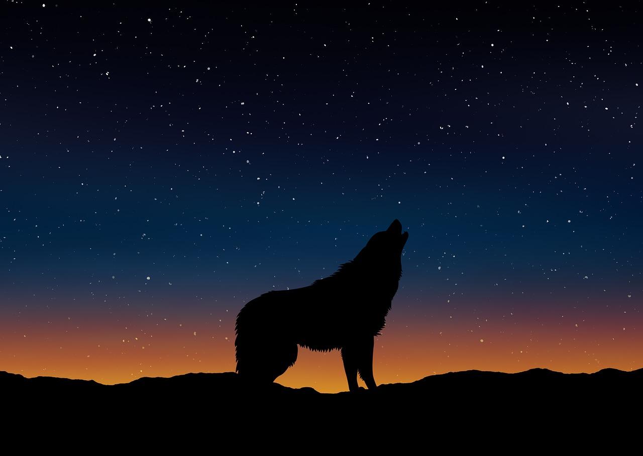 wolf, solitude, alone, nature, reflection